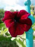La fleur d'écarlate Photo stock