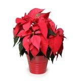 La fleur d'étoile de Noël photographie stock