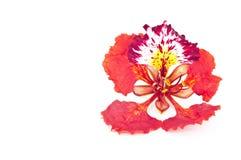 La fleur d'arbre de flamme a isolé. Image libre de droits
