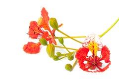 La fleur d'arbre de flamme a isolé Photographie stock libre de droits