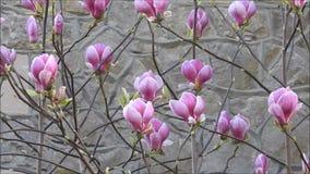 La fleur d'arbre de magnolia balançant doucement aux usines de fleurs de brise de printemps jaillissent banque de vidéos