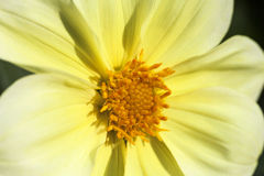 La fleur d'automne des elegans jaunes de Zinnia, se ferment  Images libres de droits