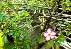 La fleur d'azalée Photo stock