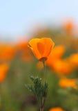 La fleur d'or de pavot de la Californie, se ferment  Images stock