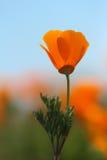 La fleur d'or de pavot de la Californie, se ferment  Photographie stock libre de droits