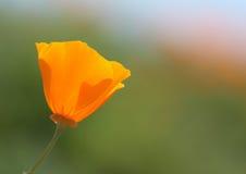La fleur d'or de pavot de la Californie, se ferment  Photos libres de droits