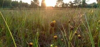 La fleur d'herbe photographie stock