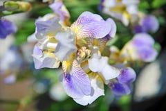 La fleur d'iris, se ferment  Photos stock