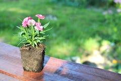 La fleur d'oeillet avec les racines nues sorties d'un pot Image stock