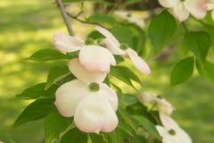 La fleur d'un arbre de la Floride de zone continentale des Etats-Unis de cornouiller au printemps photographie stock