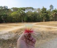 La fleur d'un arbre tropical les abords d'Angkor Vat cambodia images libres de droits