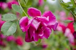 La fleur d'un lilas bouclé s'est levée images stock