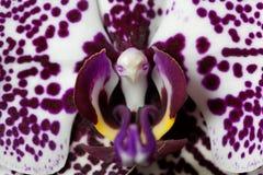 La fleur d'un lilas et d'un blanc a coloré l'orchidée de phalaenopsis Photo libre de droits