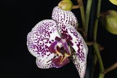 La fleur d'un lilas et d'un blanc a coloré l'orchidée de phalaenopsis Photos libres de droits