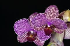 La fleur d'un pourpre et d'un blanc a coloré l'orchidée de phalaenopsis Images stock