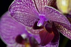 La fleur d'un pourpre et d'un blanc a coloré l'orchidée de phalaenopsis Photographie stock libre de droits