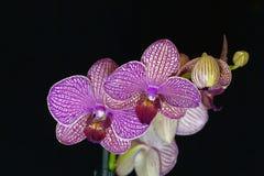La fleur d'un pourpre et d'un blanc a coloré l'orchidée de phalaenopsis Photo stock