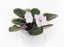 La fleur d'une violette est rose Fleurs de violette Photographie stock
