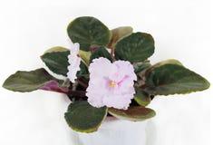 La fleur d'une violette est rose Fleurs de violette Image libre de droits