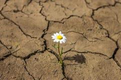 La fleur dans le désert est marguerite de terre sèche Images libres de droits