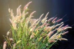 La fleur de bloc du bord de mer de lumière du soleil d'herbe, groupe de pré floral avec le long étroit laisse la rive Image stock