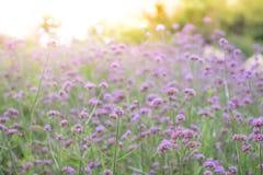 La fleur de bonariensis de verveine de tache floue avec la lumière a éclaté l'utilisation d'effet au Na Images libres de droits