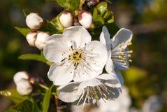 La fleur de cerise images stock