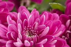 La fleur de chrysanthème Photo libre de droits