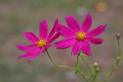La fleur de cosmos Photos libres de droits