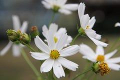 La fleur de cosmos Photo stock