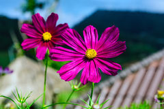 La fleur de cosmos Photographie stock
