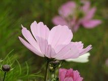 La fleur de cosmos est une usine sensible qui embellit facilement un jardin par ses nombreuses fleurs tout au long de l'été Photos libres de droits