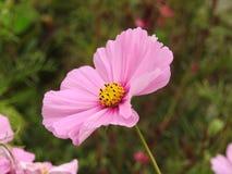 La fleur de cosmos est une usine sensible qui embellit facilement un jardin par ses nombreuses fleurs tout au long de l'été Photo stock