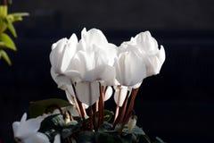 La fleur de cyclamen Photographie stock libre de droits