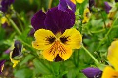 La fleur de Don Diego Images libres de droits