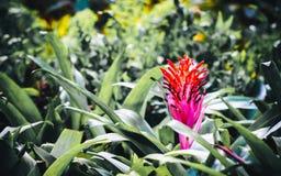 La fleur de fasciata d'Aechmea est des espèces d'usine fleurissante au b Photographie stock