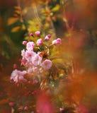 La fleur de fleurs de cerise de source Photos libres de droits