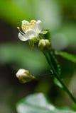 La fleur de floraison de cerise Image stock