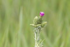 La fleur de floraison de chardon de lait au-dessus du fond vert, se ferment, macro Image stock