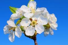 La fleur de la cerise Image libre de droits