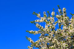 La fleur de la cerise Photos stock