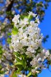 La fleur de la cerise Photo libre de droits