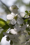 La fleur de la pomme blanche Photos libres de droits
