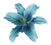 La fleur de lis de turquoise sur un blanc a isolé le fond avec le chemin de coupure aucune ombres Pour la conception, texture, fr Photo libre de droits