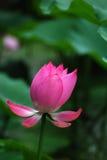 La fleur de lotus Photographie stock