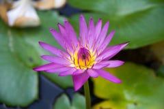 La fleur de lotus Photos libres de droits