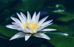 La fleur de lotus blanc avec le vert part dans l'étang Photos libres de droits