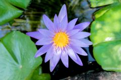 La fleur de Lotus dans la couleur violette pourpre avec le vert part dans l'étang d'eau de nature Photos libres de droits
