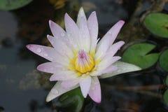La fleur de Lotus est fleur Photo libre de droits