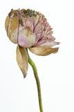 La fleur de lotus kraurotic Photographie stock libre de droits